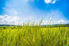 Perennial grass, breeze and sunshine. Royalty Free Stock Photos