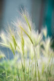 Perennial grass clover. Feather grass steppe plant summer Royalty Free Stock Photography