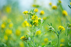 Perennial grass clover. With yellow flowers Royalty Free Stock Photography