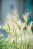 Perennial grass Stock Images