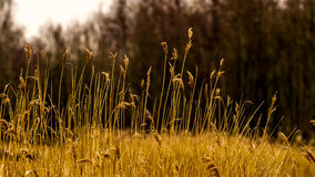 Perennial grass plumes in nice warm yellow colors. Before a hazy dark line of trees in the background Stock Photos