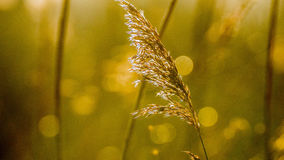 Perennial grass in yellow morning light. Sun in the back. distend trees. Fluffy in early spring time. Dreamy atmosphere with depth. with hazy background Royalty Free Stock Photography