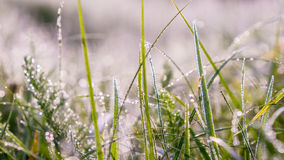 Dew lined perennial grass in pale morning light. Perennial grass in pale morning light sun Royalty Free Stock Photo