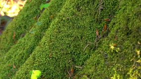 Perennial green moss grown on tree trunk. Close ups, details stock video footage