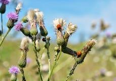A perennial herb of Bur Stock Photo