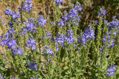 Perennial herb Veronica Teucrium. Grows in meadows, meadow steppes, forest edges. bright blue flowers, attract insects and bees. Perennial herb Veronica Teucrium stock image