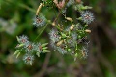 Taraxacum mongolicum Hand.-Mazz. Stock Images