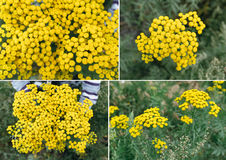 Perennial herbTansy (Tanacetum) Royalty Free Stock Images