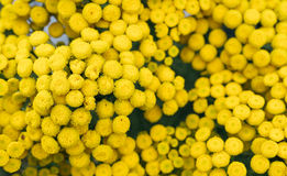 Perennial herbTansy (Tanacetum) Royalty Free Stock Photo