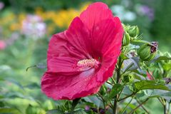 Perennial Hibiscus Shrub with large red flower. Close up of red giant hibiscus flower with green leaves. This plant belongs to the mallow family and is hardy in stock photos