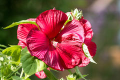Perennial Hibiscus Shrub with large red flower. Close up of red giant hibiscus flower with green leaves Stock Photography