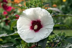 Perennial Hibiscus Shrub with large white flower. Close up of white giant hibiscus flower with red center and dark green leaves. This plant belongs to the mallow stock image