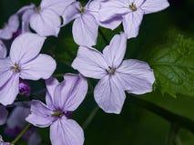 Perennial honesty or Lunaria rediviva flowers macro with dark bokeh background, selective focus, shallow DOF Stock Photos
