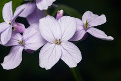 Perennial honesty or Lunaria rediviva flowers macro with dark bokeh background, selective focus, shallow DOF Royalty Free Stock Photography