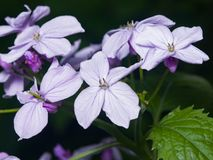 Perennial honesty or Lunaria rediviva flowers macro with dark bokeh background, selective focus, shallow DOF Stock Photography