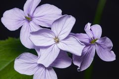 Perennial honesty or Lunaria rediviva flowers macro with dark bokeh background, selective focus, shallow DOF Royalty Free Stock Photo