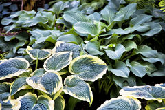 Perennial Hosta. Various types of large leaf perennial hostas in the northern shade garden Stock Photo