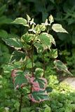 perennial houttuynia cordata хамелеона Стоковая Фотография RF