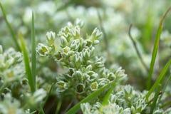 Perennial knawel, Scleranthus perennis Royalty Free Stock Photos