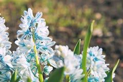 Perennial kwitnie pierwszy wiosna kwiaty Zdjęcia Royalty Free