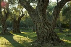 Perennial olive tree in an olive grove, illuminated by the setting sun Stock Photo