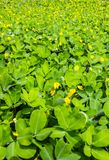 Perennial Peanut Foliage Stock Images