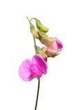 Perennial peavine (Lathyrus latifolius) Royalty Free Stock Images
