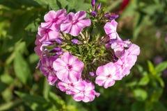 Perennial phlox (Phlox paniculata - Laura) Stock Photography