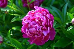 A perennial is a  pi-meson Royalty Free Stock Photos