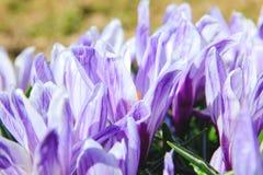 Perennial pierwszy wiosna kwitnie krokusy Fotografia Stock