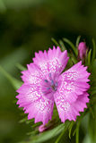 Perennial - Pink Dianthus species Stock Image