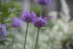 Perennial Plant - Allium. Allium Heads of purple flowers in the garden Royalty Free Stock Photo