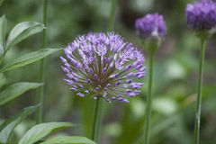 Perennial Plant - Allium. Allium Heads of purple flowers in the garden Stock Photos
