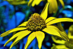 Perennial plant flower Rudbeckia speciosa, Rudbeckia Hirta Royalty Free Stock Photography