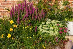 Perennial Plants in a flowerbed. Perennial Plants like Purpel Loosestrife in a flowerbed Stock Photos