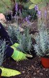 Perennial plants planting Royalty Free Stock Photos