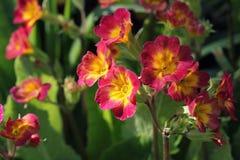 Perennial primrose or primula in the spring garden. Spring primroses flowers, primula polyanthus. The beautiful red Stock Photo