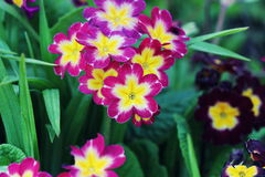 Perennial primrose or primula in the spring garden. Spring primroses flowers, primula polyanthus. The beautiful pink Royalty Free Stock Photography