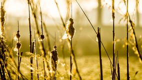 Perennial reed stems in yellow morning light. Sun in the back. distend trees. Fluffy in early spring time. Dreamy atmosphere with depth Royalty Free Stock Images