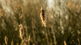 Perennial reed stems in yellow morning light. Perennial reed stems in morning light with trees in the back. fluffy seeds in early spring time Royalty Free Stock Photos