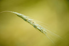 Perennial rye, old rye Royalty Free Stock Photography