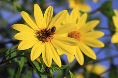 Perennial Sunflower Capenoch Star with bee insect Royalty Free Stock Photography