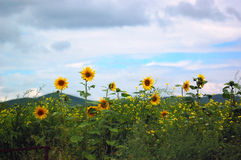 Perennial Sunflowers. Some sunflowers on the glassland Royalty Free Stock Images
