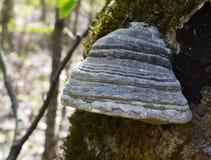 Perennial tinder mushroom Stock Photos