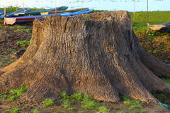The perennial trees die Stock Photos