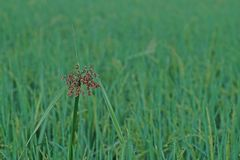 Greater club rush sedges. Perennial weed in paddy field and aquatic condition greater club rush sedges Royalty Free Stock Photography