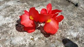 Perennials выбранные красным цветом стоковые изображения rf