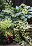 Perennials apropriados para o lugar obscuro Fotos de Stock Royalty Free