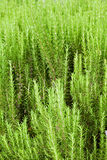 Perennials de Califórnia fotos de stock royalty free