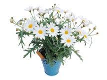 Perennials de Margeriten das margaridas isolados no fundo branco fotografia de stock royalty free